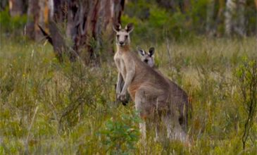 Blue Mountains Twilight/Wildlife Tour Kangaroo